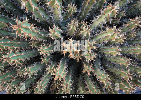 Top view of a prickly cactus plant. - Stock Photo