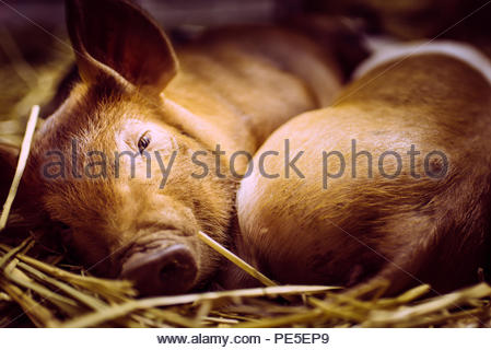 Peggies getting some sleep after the show. - Stock Photo