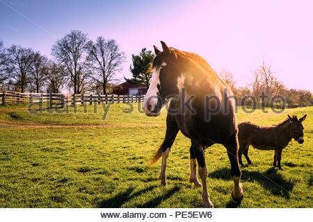 Best frineds, horse and donkey at sunset. - Stock Photo
