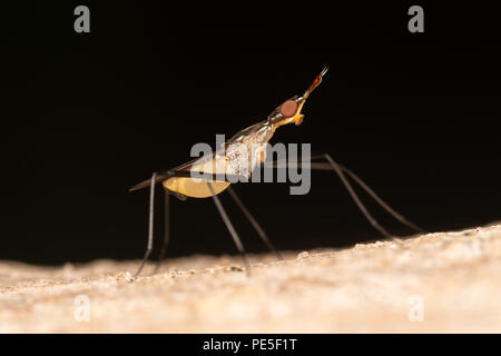 Neriidae is a family of true flies (Diptera) commonly known as banana stalk flies or stilt-legged flies. - Stock Photo