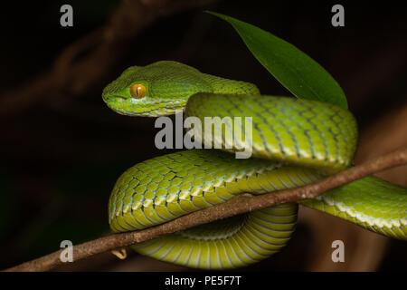 Trimeresurus albolabris, the white-lipped pit viper, is a venomous pit viper species endemic to Southeast Asia. - Stock Photo