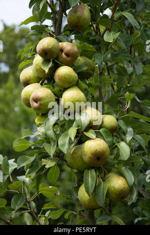 Cluster of ripe light green pears on pear tree in an orchard - Stock Photo