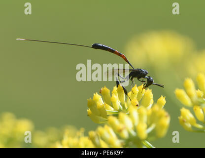 A female parasitic wasp (Gasteruption jaculator) feeds on nectar on a fennel (Foeniculum vulgare) flower head. Bedgebury Forest, Hawkhurst, Kent, UK. - Stock Photo