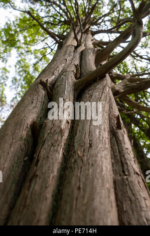The columnar trunk of a dried redwood tree, with twisted branches extending out. Habitat Education Center and Wildlife Sanctuary, Belmont, MA, USA - Stock Photo