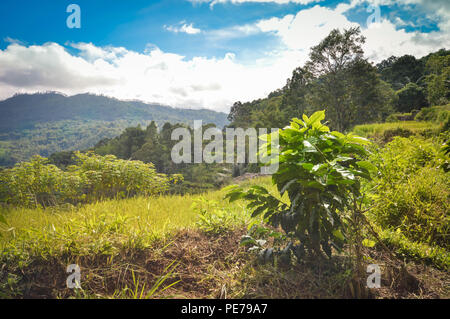 Coffee plantation in Tana Toraja, Rantepao in South Sulawesi, Indonesia. Toraja highlands Arabica coffee is known and exported worldwide. - Stock Photo