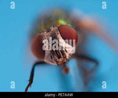 Green Bottle Fly Dasyphora cyanella macro close up - Stock Photo