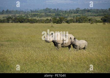 Black rhinoceros with calf, Ol Pejeta Conservancy, Kenya - Stock Photo