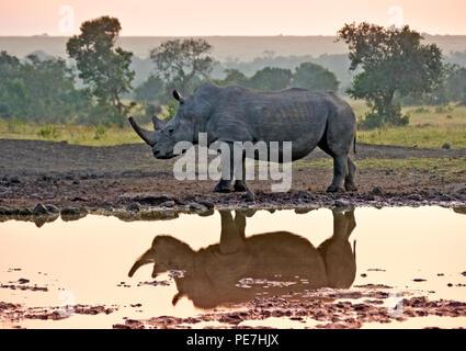 White rhinoceros reflected in waterhole at sunrise, Ol Pejeta Conservancy, Kenya - Stock Photo