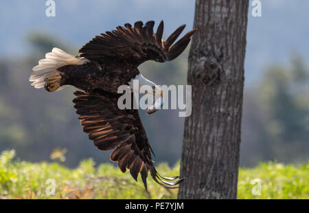 Bald Eagle Fishing - Stock Photo