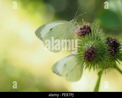 Beautiful image of Pieris Rapae butterfly aka Small cabbage white. Differential focus and backlit for attractive background with copyspace. - Stock Photo
