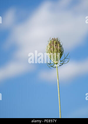 Wild carrot, Daucas carota seedhead, Aka Queen Anne's lace, Bishop's lace. - Stock Photo