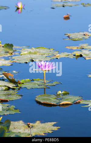 Lotus flowers on Thale Noi lake in Phatthalung province, Thailand - Stock Photo
