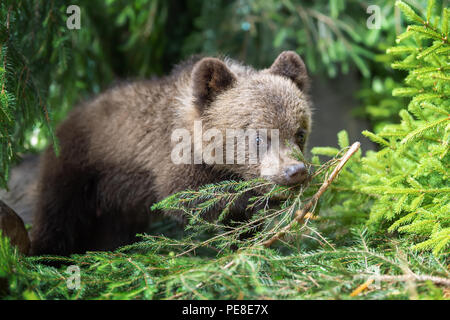 Young brown bear cub in the forest. Animal in the nature habitat - Stock Photo