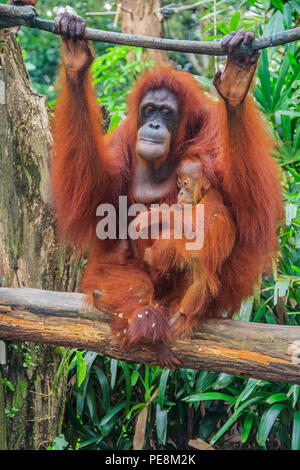 Mother and baby orangutans with a green background - Stock Photo