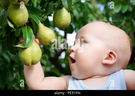 Child taking ripe pears at orchard in autumn. Little boy wanting to eat sweet fruit from tree in garden at fall harvest. Infant and baby food concept. - Stock Photo