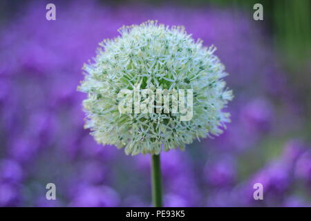 German Summer flower - Stock Photo