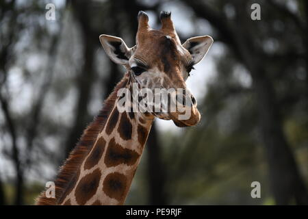 Rothschild giraffe. Giraffe Manor, Nairobi, Kenya. - Stock Photo