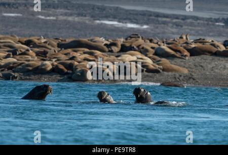 a family of walrus swimming off the beach in the acrtic sea - Stock Photo