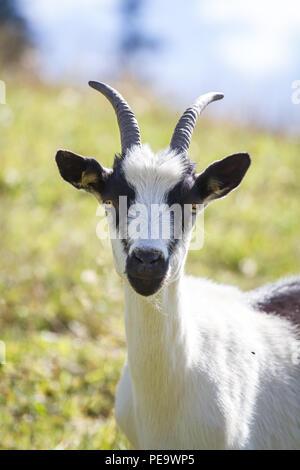 Peacock Goat,  Pfauenziege (Capra aegagrus hircus) - Stock Photo