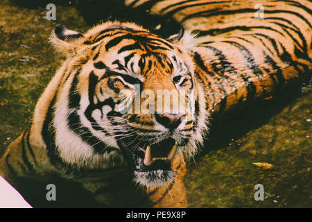 beautiful close up of a bengal tiger laying in a pool of water. nice portrait photo of the amazing tiger. - Stock Photo