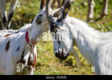 Mountain goats (Capra aegagrus hircus) - Stock Photo