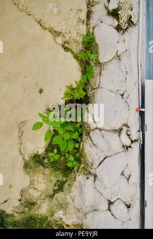 Background of green plants growing in a morbid yellow-white wall - Stock Photo