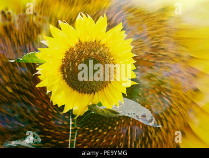 sunflower spinning - Stock Photo