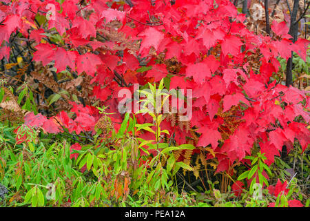 Autumn foliage- Red maple (Acer rubrum) in a mixed hardwood forest, Greater Sudbury, Ontario, Canada - Stock Photo