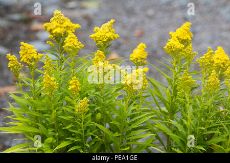 Yellow flowers in conical heads of the late summer blooming dwarf goldenrod, Solidago 'Little Lemon' - Stock Photo