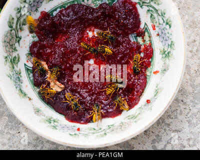 Common UK female worker wasps, Vespula vulgaris, feeding on a plate of jam in late summer - Stock Photo