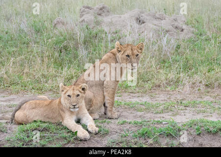 Two young cubs laying next the ants mound - Stock Photo