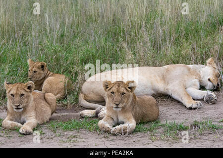 Two young cubs laying next to their mother in Serengeti NP, Tanzania - Stock Photo