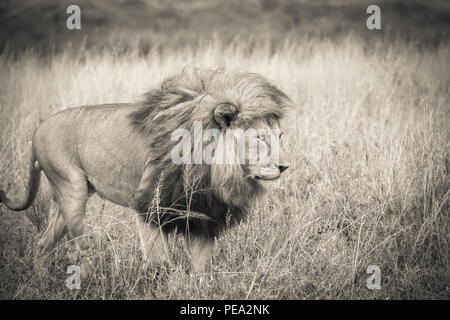 A male Lion walking around in Serengeti NP, Tanzania