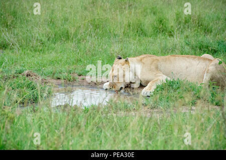 A lioness drinking water to satisfy his thirst needs in the Serengeti NP, Tanzania. - Stock Photo