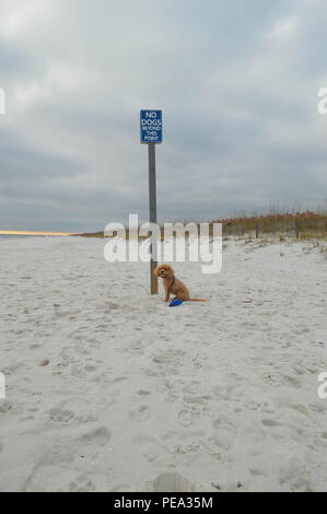 Happy Cockapoo Dog Sits At Edge Of Dog Park On Pensacola Beach and Smiles. - Stock Photo