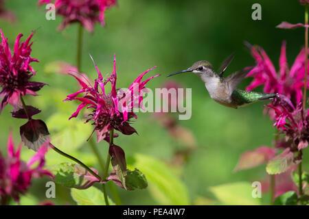 A Ruby-throated hummingbird flying near Bee Balm Flowers - Stock Photo