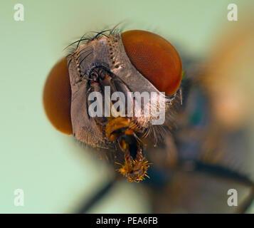 Green Bottle Fly Dasyphora cyanella macro close up of head - Stock Photo