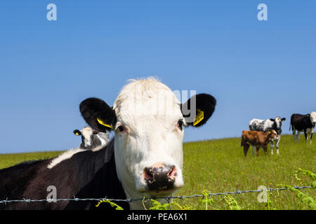 Inquisitive Black and white Freisian cow in a field of dairy cows looking over a barbed wire fence. Isle of Anglesey, Wales, UK, Britain - Stock Photo