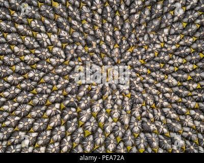 Sunflower seed head detail, Fibonacci pattern.