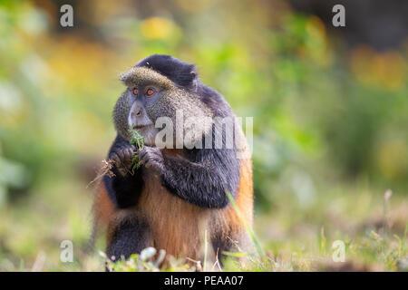Golden Monkey, Cercopithecus kandti, Volcanoes National Park in Kinigi, Rwanda, July 12, 2018. (CTK Photo/Ondrej Zaruba) - Stock Photo