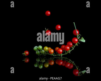 Cluster of tiny red currant tomatoes on vine , Solanum pimpinellifolium, on shiny surface and isolated on black. - Stock Photo