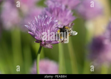 A Bumble Bee on a Chive Plant Looking for Pollen - Stock Photo