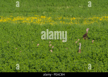 A flock of wild turkey (Meleagris gallopavo) young hiding in a field of alfalfa. - Stock Photo