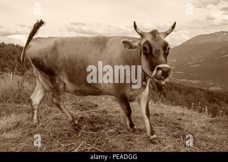 Dairy Cow-Brown Swiss Milk Cow in Switzerland - Stock Photo