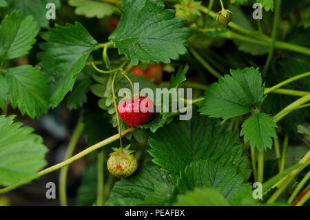 Strawberries growing on the plant - Stock Photo
