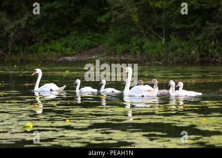 Close up of swan family in Jarun lake in Zagreb, Croatia. - Stock Photo