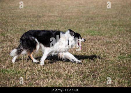 Border Collie dog Canis lupus familiaris in familiar stalking pose on dry grassy farmland - Stock Photo