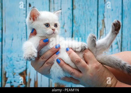Little white British kitten in hands on blue background - Stock Photo