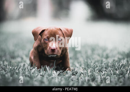 Adorable Blue Eyed Pitbull Terrier Pupyy - Stock Photo