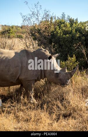 White rhino in Pilanesberg National Park, South Africa - Stock Photo